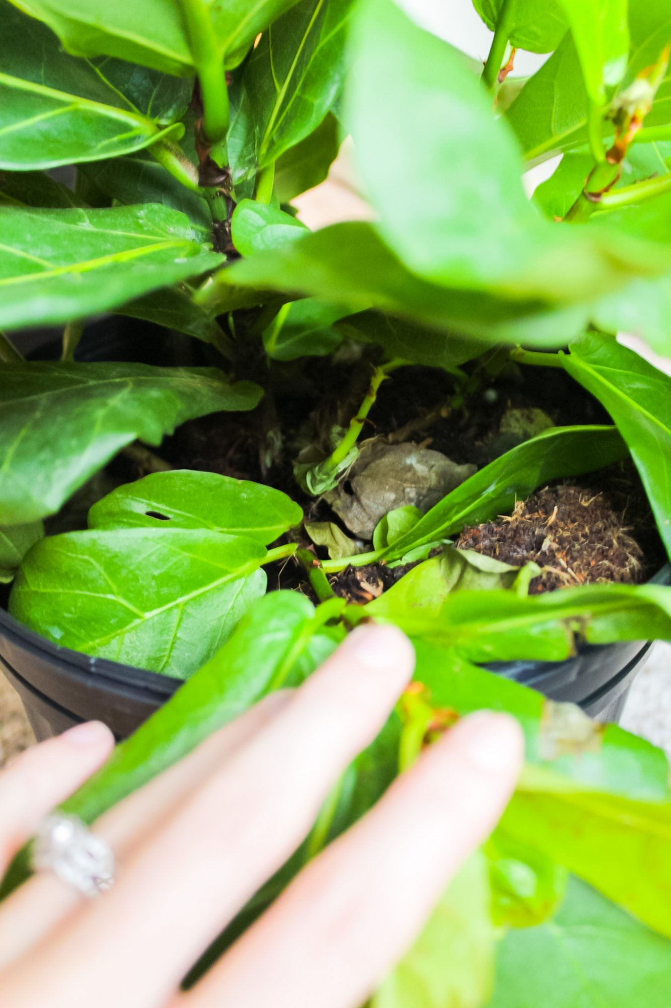 how to propagate fiddle leaf fig