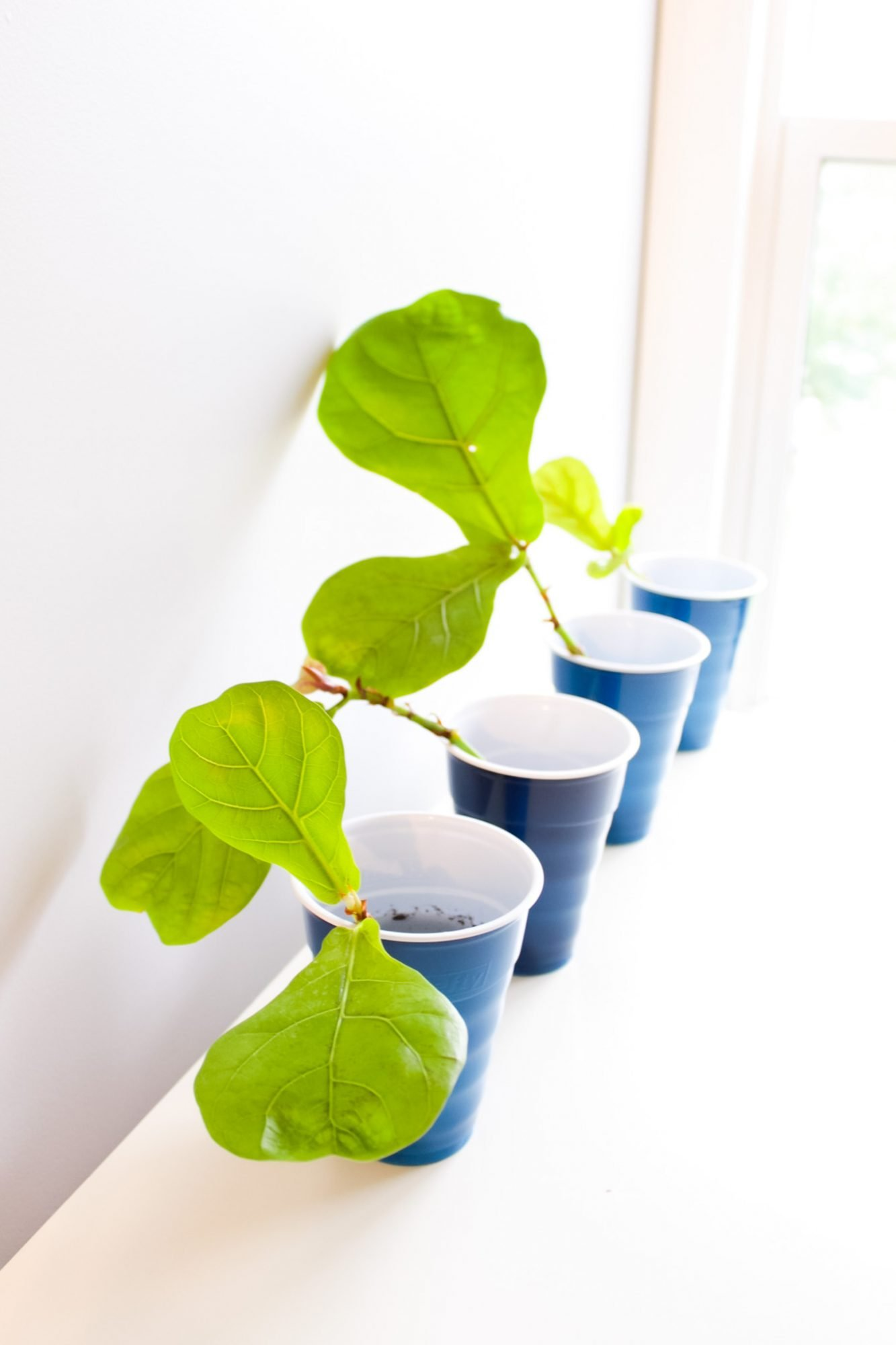 propagate fig tree