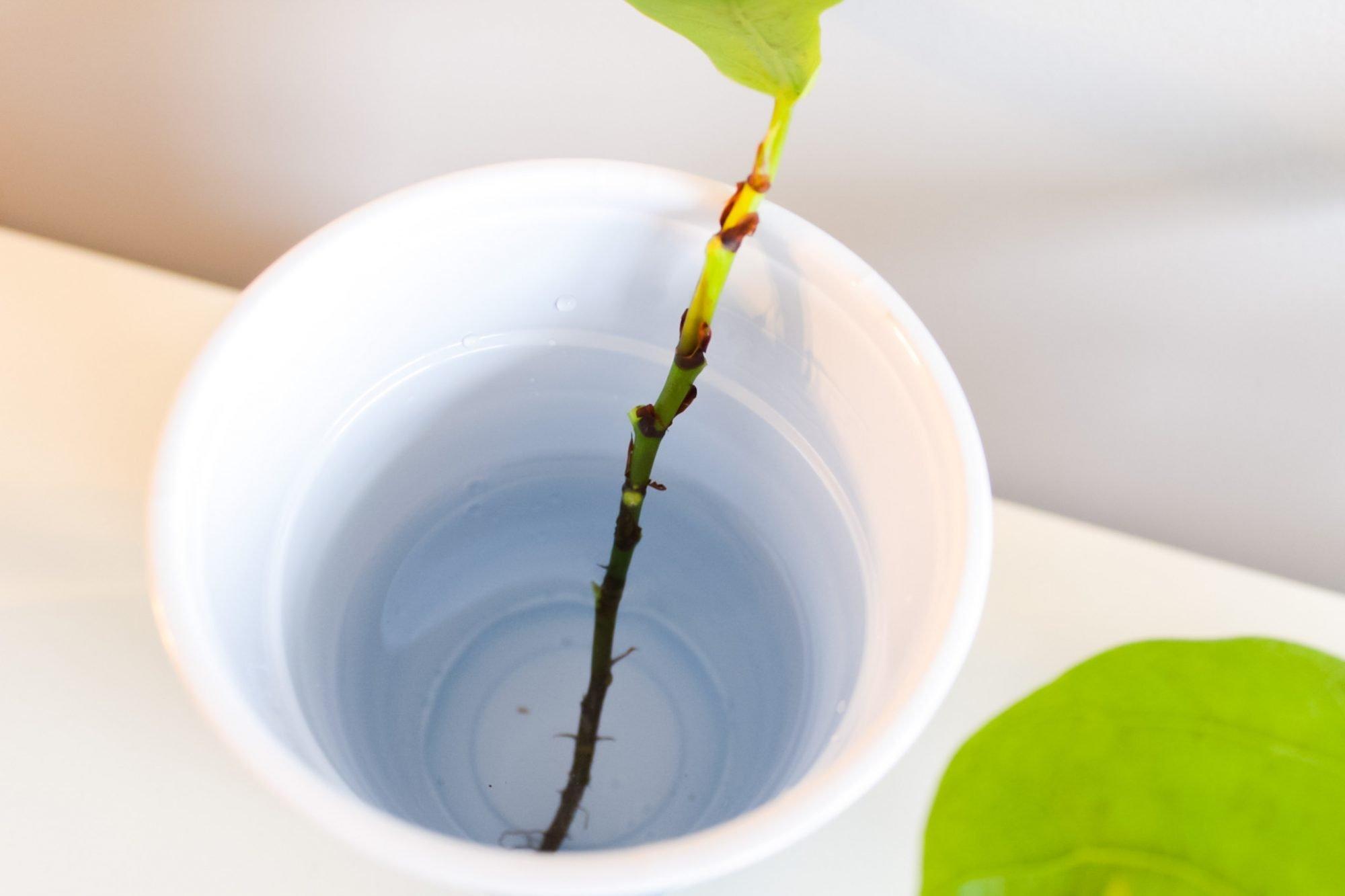 fiddle leaf propagation