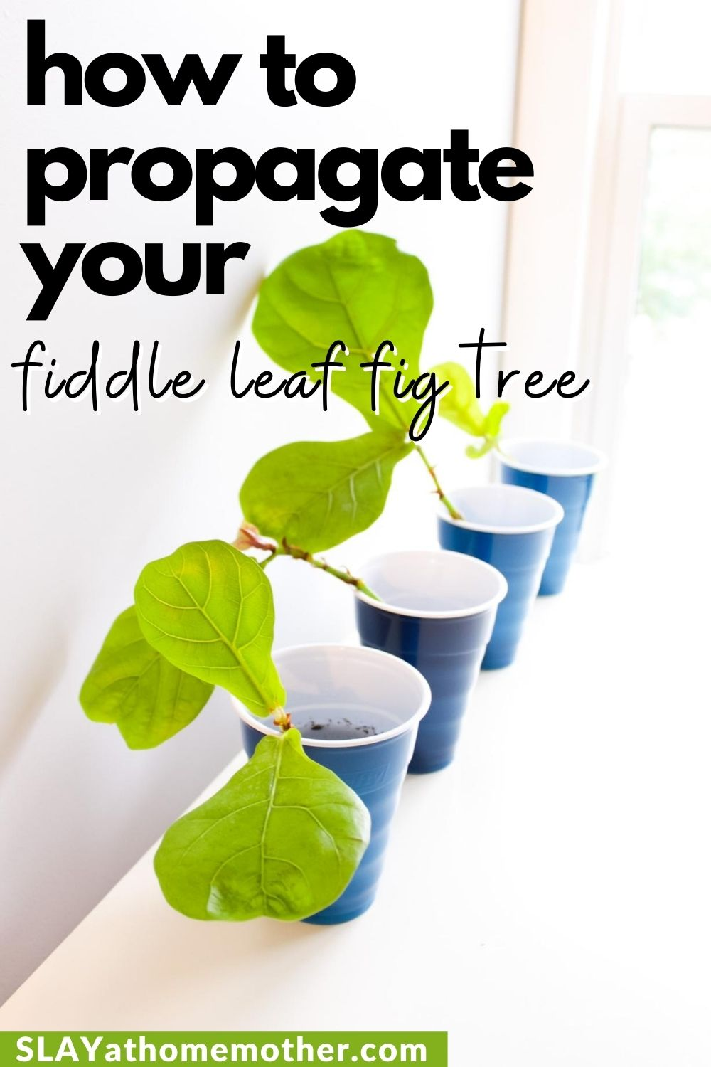 fiddle leaf fig tree propagation